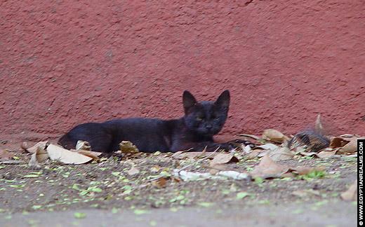 Egyptische kat.