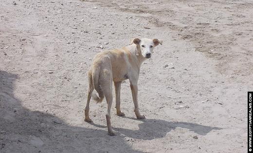 Egyptische hond op het erf.