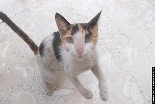 Een Egyptische kat.