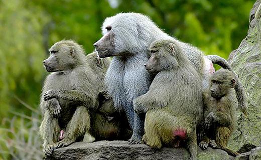Familie Mantelbavianen.