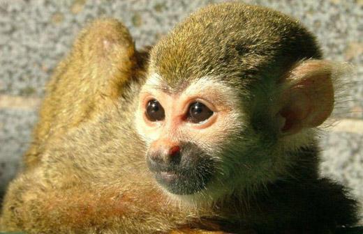 Kleine aap, huisdier van de oude Egyptenaren