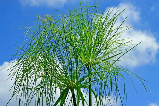Papyrus plant.