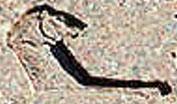 Oud-Egyptisch hieroglief van de leeuw.