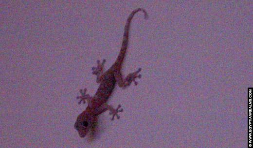 Reptiel klimmend tegen de muur.
