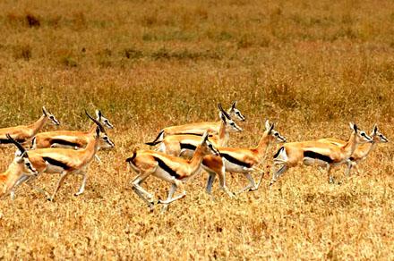 Gazelles zijn vaak bij waterbronnen te vinden.
