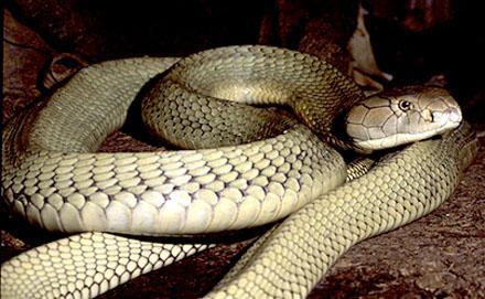 Grote slang met opgevouwen lichaam.