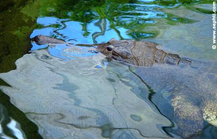 Waakzame krokodil.