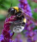Bij op zoek naar nectar voor de koningin.
