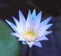 Blauwe Lotus bloem.