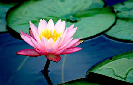 De Lotus.