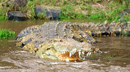 Krokodil Seb.