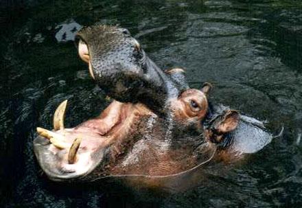 Nijlpaard Thiouis.
