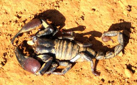 In de Egyptische woestijn leven gevaarlijke schorpioenen.