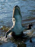 Krokodil in aktie.