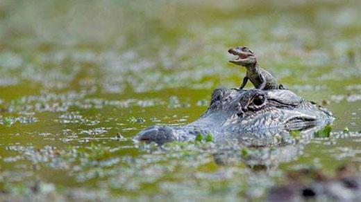 Vader en zoon krokodil in het moeras.
