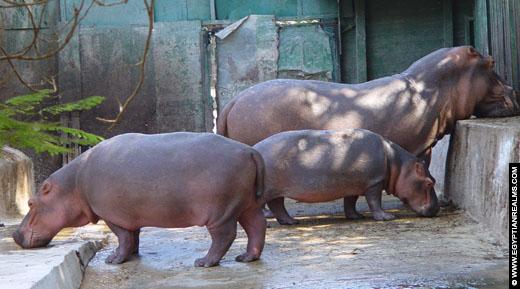 Nijlpaarden in de Zoo van Cairo.
