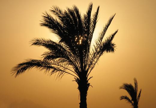 Palmboom.