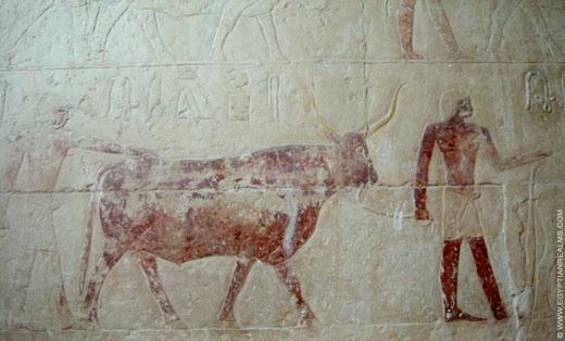 Os afgebeeld op een muur in Saqqara.