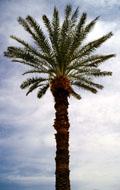 Hoge palmboom.