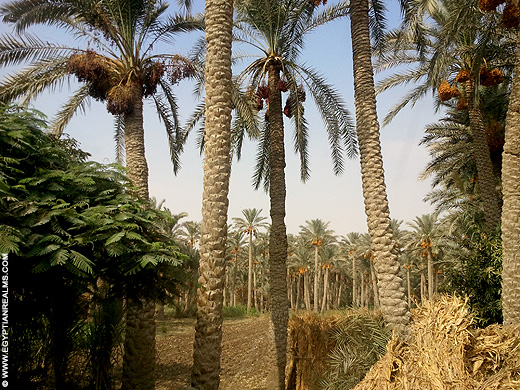 Palmbomen in Egypte.