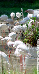 Flamingo's in de Zoo van Cairo in Egypte.