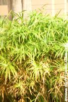Papyrusplanten bij het Museum.