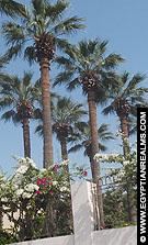 Palmbomen langs Luxor boulevard.