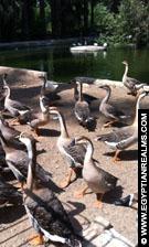 Ganzen in de Zoo van Cairo.