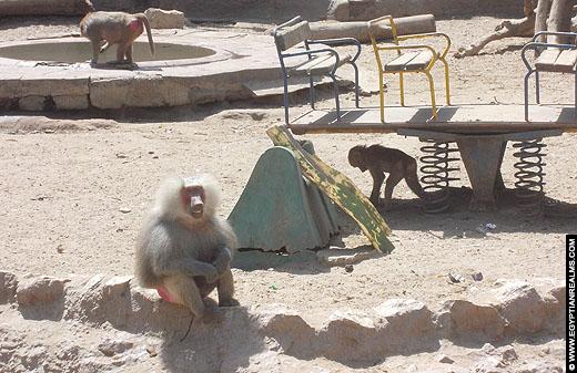 Bavianen in de Cairo Zoo.